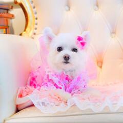 ポメマル/ドッグカフェ/犬/夏模様/フォロー大歓迎/LIMIAペット同好会/... しふぉんの浴衣を 作ってみました😄✨  …