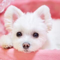うちの子ベストショット/ミックス犬/ペット/犬/ポメマル/しふぉん/... 視線を感じると思ったら…💕  ちょこんと…