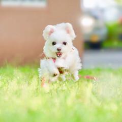 しふぉん/ポメマル/犬/ペット/ミックス犬/うちの子ベストショット/... 今日のベストショット✨  飛行犬しふぉん…