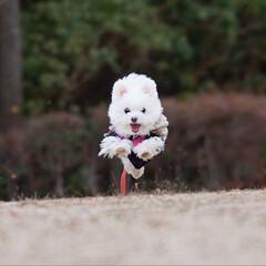 ミックス犬/ポメマル/LIMIAペット同好会/フォロー大歓迎/ペット/ペット仲間募集/... 飛行犬しふぉんたん✨