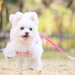 ミックス犬/しふぉん/ポメマル/うちの子自慢/LIMIAペット同好会/フォロー大歓迎/... 日曜日のお散歩pic✨ ランラン楽しいね…