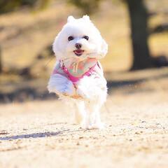 ペット/犬/ミックス犬/マルチーズ/ポメラニアン/ポメマル/... 公園でランランしてきたよ♬︎♡  しふぉん