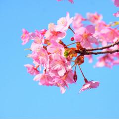 桜/河津桜/春の一枚/フォロー大歓迎/おでかけ/風景/... 河津桜と青空🌸✨  ほとんどのところがま…