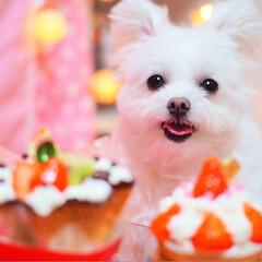 うちの子ベストショット/しふぉん/ポメマル/ミックス犬/LIMIAペット同好会/ペット/... ケーキを頂きました😋🍰💜  しふぉんたん…