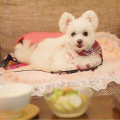 ドッグカフェ/ポメマル/ミックス犬/犬/犬派/フォロー大歓迎/... 昨日はドッグカフェで ディナーして来まし…