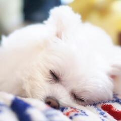しふぉん/ミックス犬/ポメマル/うちの子ベストショット/LIMIAペット同好会/フォロー大歓迎/... 可愛い寝顔💕  明日も仕事だ(* _ω_…