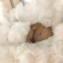 ハムスタグラム/ハムスター大好き/LIMIAペット同好会/ペット仲間募集 暖かくなってきたからもうこんな感じで寝て…