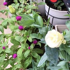 花のある暮らし/トルコ桔梗/ミモザ/サボテン/多肉ちゃん/多肉植物/... 今日は曇り☁️お昼に突然の大雨☔️ 雨が…(1枚目)