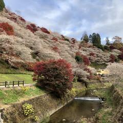 四季桜のさと/紅葉と四季桜/奇跡の絶景 奇跡の絶景❣️ 紅葉🍁と四季桜🌸のコラボ…