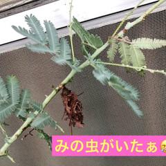 花のある暮らし/トルコ桔梗/ミモザ/サボテン/多肉ちゃん/多肉植物/... 今日は曇り☁️お昼に突然の大雨☔️ 雨が…(9枚目)