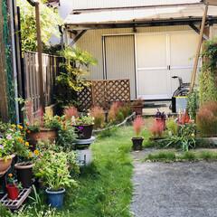 芽が出た/コキアの紅葉/コキア/デイサービス/職場の庭 職場のお庭です❣️ 少〜しずつコキアが色…