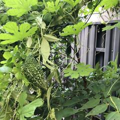 きゅうり/コキアちゃん/コキア/朝顔/ゴーヤ/職場の庭/... 春にゴーヤの苗を2本植えて、ポールの下に…(5枚目)
