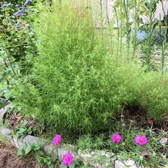 きゅうり/コキアちゃん/コキア/朝顔/ゴーヤ/職場の庭/... 春にゴーヤの苗を2本植えて、ポールの下に…(6枚目)