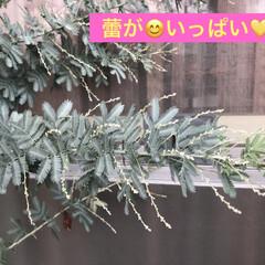花のある暮らし/トルコ桔梗/ミモザ/サボテン/多肉ちゃん/多肉植物/... 今日は曇り☁️お昼に突然の大雨☔️ 雨が…(8枚目)