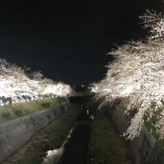 ジョギングコース/桜/夜桜/ライトアップ中止 ライトアップ🌸中止なので昨年のです❗️ …(2枚目)
