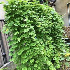 きゅうり/コキアちゃん/コキア/朝顔/ゴーヤ/職場の庭/... 春にゴーヤの苗を2本植えて、ポールの下に…(3枚目)