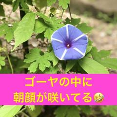 きゅうり/コキアちゃん/コキア/朝顔/ゴーヤ/職場の庭/... 春にゴーヤの苗を2本植えて、ポールの下に…(1枚目)