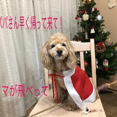 コキアのほうき/サンタ/クリスマス 暇だから飛ぶ練習しよ〜っと🤣付き合わされ…