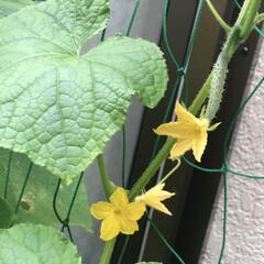 きゅうり/コキアちゃん/コキア/朝顔/ゴーヤ/職場の庭/... 春にゴーヤの苗を2本植えて、ポールの下に…(8枚目)