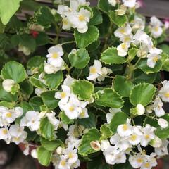 きゅうり/コキアちゃん/コキア/朝顔/ゴーヤ/職場の庭/... 春にゴーヤの苗を2本植えて、ポールの下に…(9枚目)