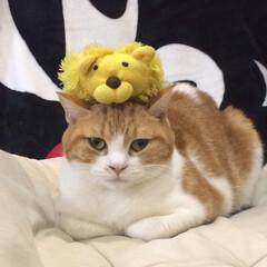 猫/うちの子ベストショット 1番お気に入りライオン🦁のマスコット