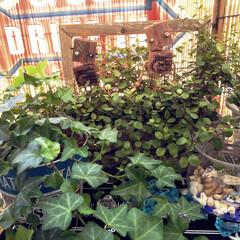 賃貸インテリア/観葉植物/グリーンのある暮らし/ベランダガーデン/ベランダ/ベランダ遊び/... 大阪もやっと梅雨明け――🤣  ほんまに今…