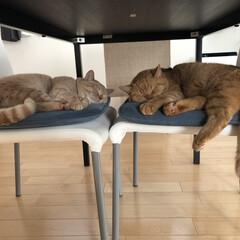 お昼寝/ねこ 油断してると、すぐに椅子が乗っ取られます😭