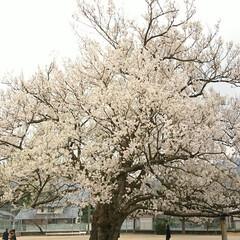グラウンド/小学校/味真野1本桜/満開の桜/桜/おでかけワンショット 小学校のグラウンドの中央に1本だけ咲く桜…