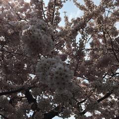 桜/暮らし 暖かくなって、桜が咲いていたのでちょっと…