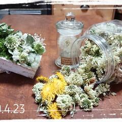 さんぽ/タンポポドライ/野の花/ダイソー/セリア/100均/... おはようございます🙇 タンポポの花ドライ…