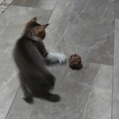 孫/子猫/スモークツリー/廊下/ダイソー/ハンドメイド/... スモークツリー ドライになった子をお飾り…(3枚目)