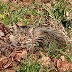 おひるね/ほっこり/猫/風景 駅まで歩いていると〜畑の隅っこで昼寝して…
