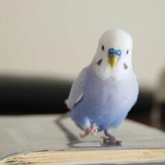 小鳥/セキセイインコ/いんこ/フォロー大歓迎/はじめてフォト投稿/ペット/... お散歩中💜 放鳥しているときの生き生きと…