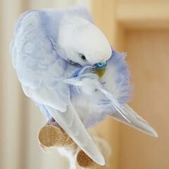 小鳥/ことり/セキセイインコ/インコのいる暮らし/インコ/フォロー大歓迎/... 羽繕い💜 只今、換羽の真っ最中です✨