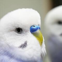 セキセイインコ/小鳥/ことり/カメラ/フォロー大歓迎/ペット/... マクロレンズ練習中🎵 ドアップのリンゼ🐦
