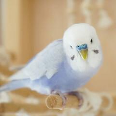小鳥/セキセイインコ/フォロー大歓迎/ペット/ペット仲間募集 いつもこのバードジムで遊んでいます❤️