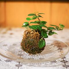 玄関/ボタニカル/グリーン/苔玉/フォロー大歓迎/インテリア ずっと気になってた苔玉をわが家の玄関にお…(1枚目)