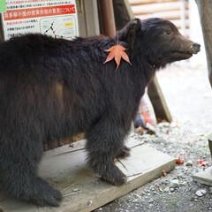くま/紅葉/登山/秋/おでかけ 登山で訪れた奥多摩の山小屋、三条の湯では…