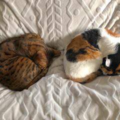 三毛猫/ベンガル猫/多頭飼い/LIMIAペット同好会/猫/にゃんこ同好会/... にゃんもないと🙆♂️🙆♀️ こまめの…