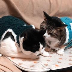 キジ猫/三毛猫/ヒゲ/白黒猫/LIMIAペット同好会/フォロー大歓迎/... 実家のチビっ子達には大きすぎるとのことで…