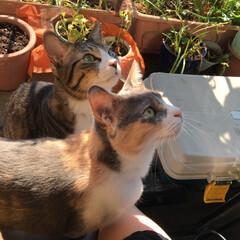 キジ猫/三毛猫/フォロー大歓迎/ペット/猫/にゃんこ同好会 凪&楓 網戸のハエさんをジィィ👀