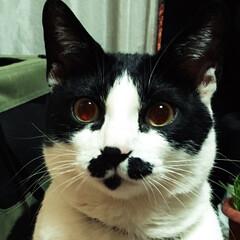 面白模様/ヒゲ/白黒猫/フォロー大歓迎/ペット/猫/... ₍˄·͈༝·͈˄₎◞︎ ̑̑ෆ⃛遥羽 チ…