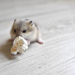 おかし/ポップコーン/小動物/ハムスター/キャンベルハムスター/フォロー大歓迎/... ポップコーンはぼくのもの!!