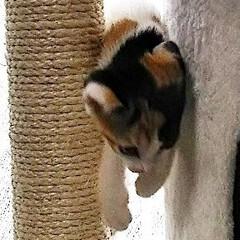 キャットタワー/子猫/LIMIAペット同好会/にゃんこ同好会/うちの子ベストショット おてんばミミたん💖 キャットタワー フル…
