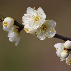 梅/おでかけワンショット/初投稿 近所の梅の花。