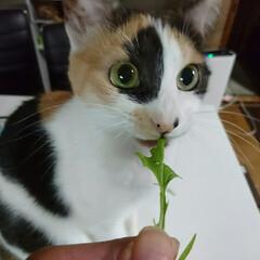 5歳/三毛猫/保護猫/水菜/ペット/ペット仲間募集/... 今日の一句  ベジタリアン 初めて知った…
