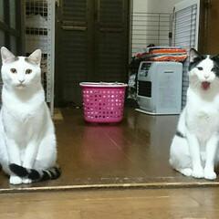招き猫/幸福/シーサー/フォロー大歓迎/ペット/ペット仲間募集/... 今日の一句  招き猫?違うよ僕らはシーサ…