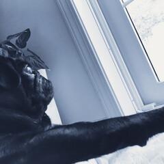 リラックス/黒パグ/パグ/愛犬/お家/わたしのごはん/... ご飯も食べて、リラックスタイム (1枚目)