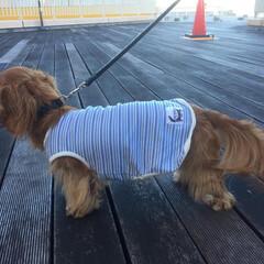 散歩/ダックスフンド/犬 トレッサ横浜 わんこOKエリアでお散歩。(2枚目)