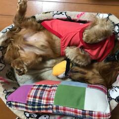 ミニチュアダックスフンド/爆睡/雨 雨でお散歩に行けなくてつまらない➡︎その…(3枚目)
